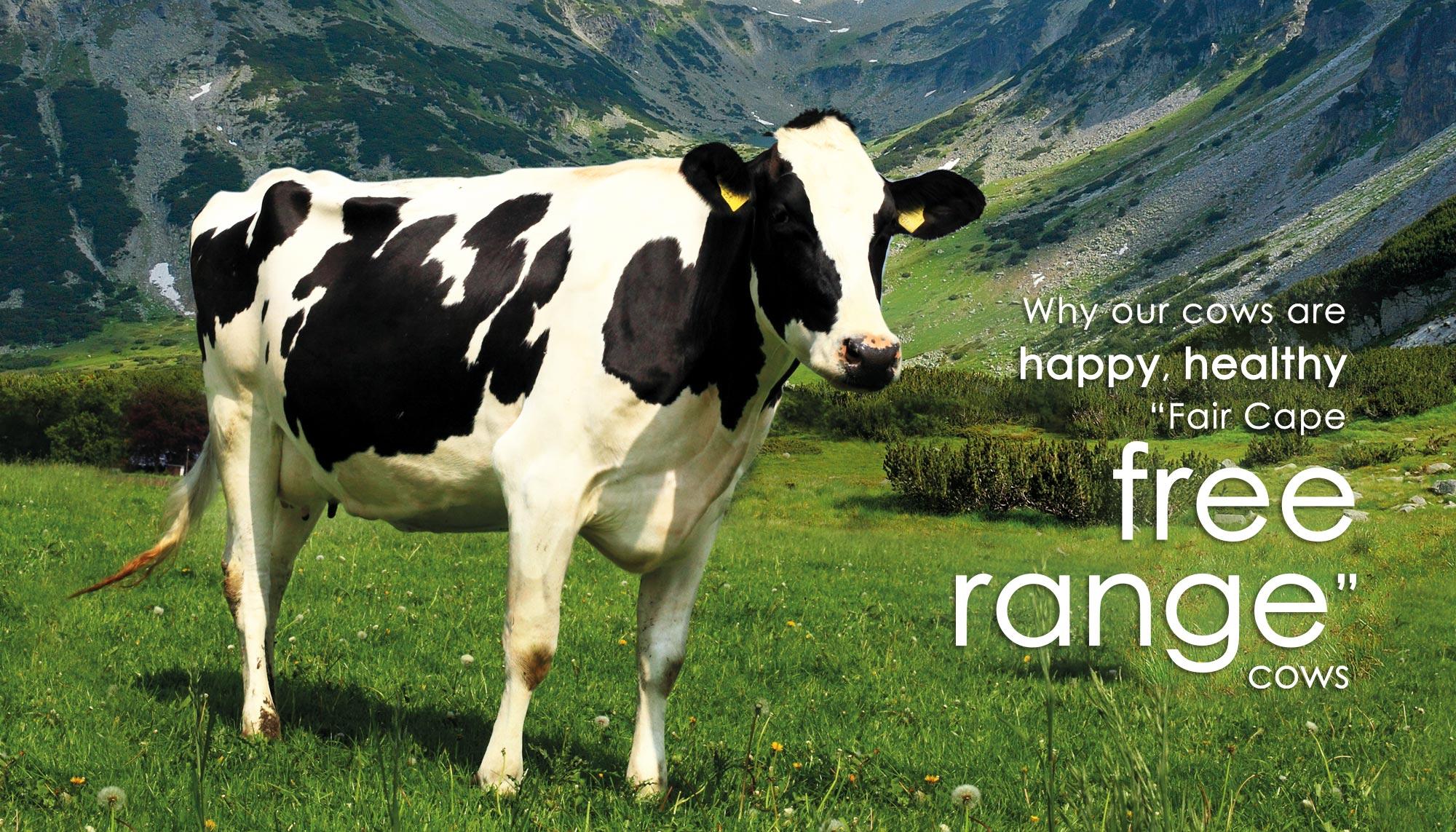 Fair Cape Free Range Cow